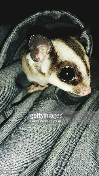 close-up of sugar glider on fabric - sugar glider stock photos and pictures