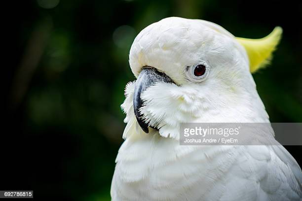 Close-Up Of Sulphur Crested Cockatoo At Bali Zoo