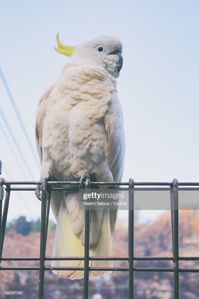 Close-Up Of Sulphur Crested Cockatoo On Metal Fence Against Clear Sky : Foto stock