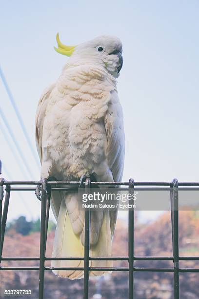 Close-Up Of Sulphur Crested Cockatoo On Metal Fence Against Clear Sky
