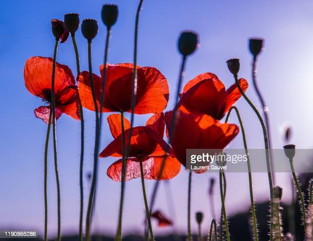 close-up of summer vibrant colored poppies at sunset - laurent sauvel photos et images de collection