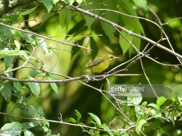 Close-Up Of Sunbird Perching On Branch