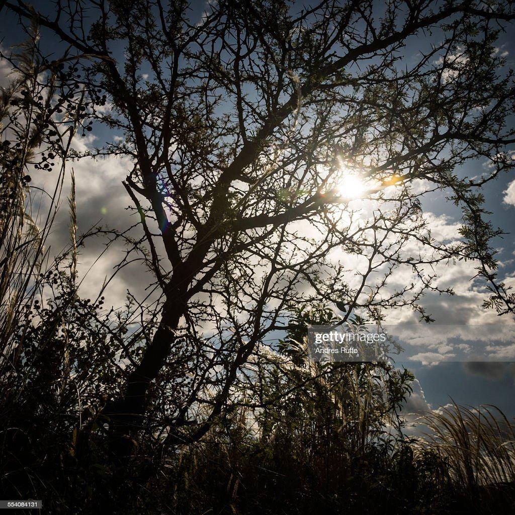 Closeup of Sunburst silhouettes of tree branches : Stock Photo