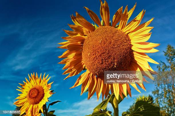 close-up of sunflower against sky - heinovirta stock photos and pictures