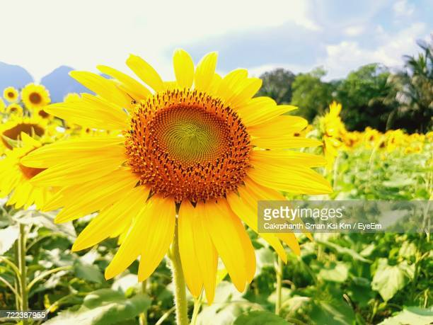 close-up of sunflower against sky - ksi stock photos and pictures