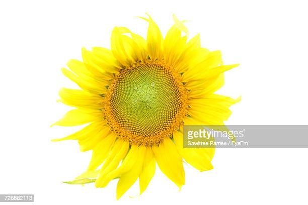 Close-Up Of Sunflower Against White Background