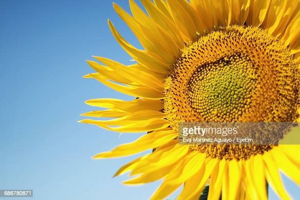 Close-Up Of Sunflower Blooming Against Clear Blue Sky