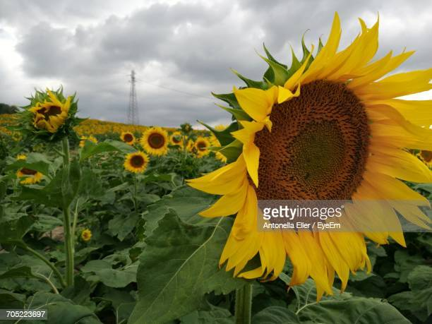 close-up of sunflower blooming in field - antonella stock photos and pictures