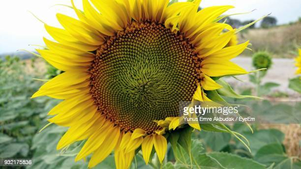 Close-Up Of Sunflower Blooming In Field