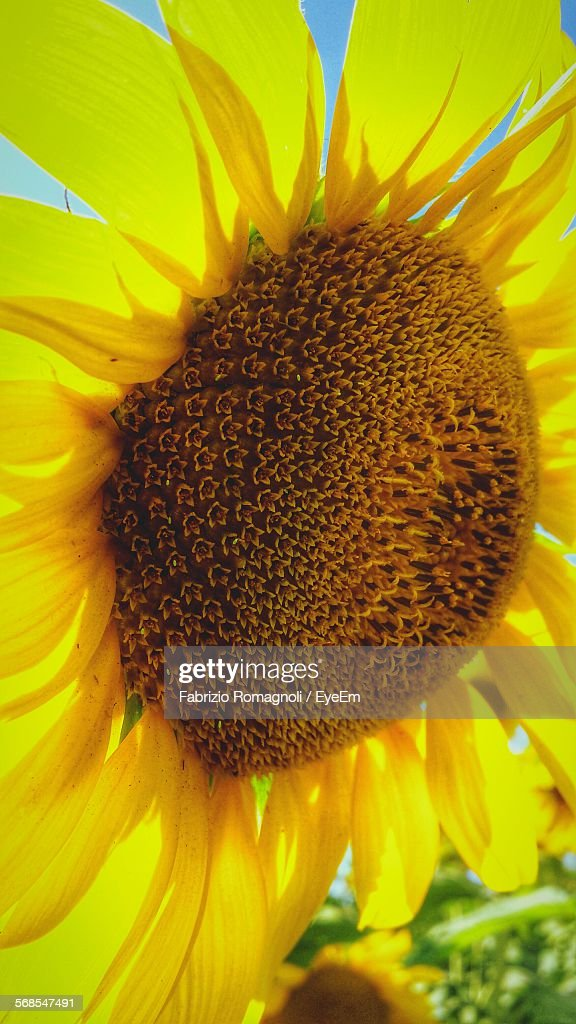 Close-Up Of Sunflower Blooming On Field : Stock Photo