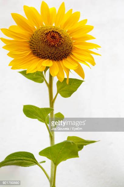 close-up of sunflower blooming outdoors - girasoli foto e immagini stock