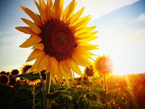 Close-Up Of Sunflower On Field Against Sky - gettyimageskorea