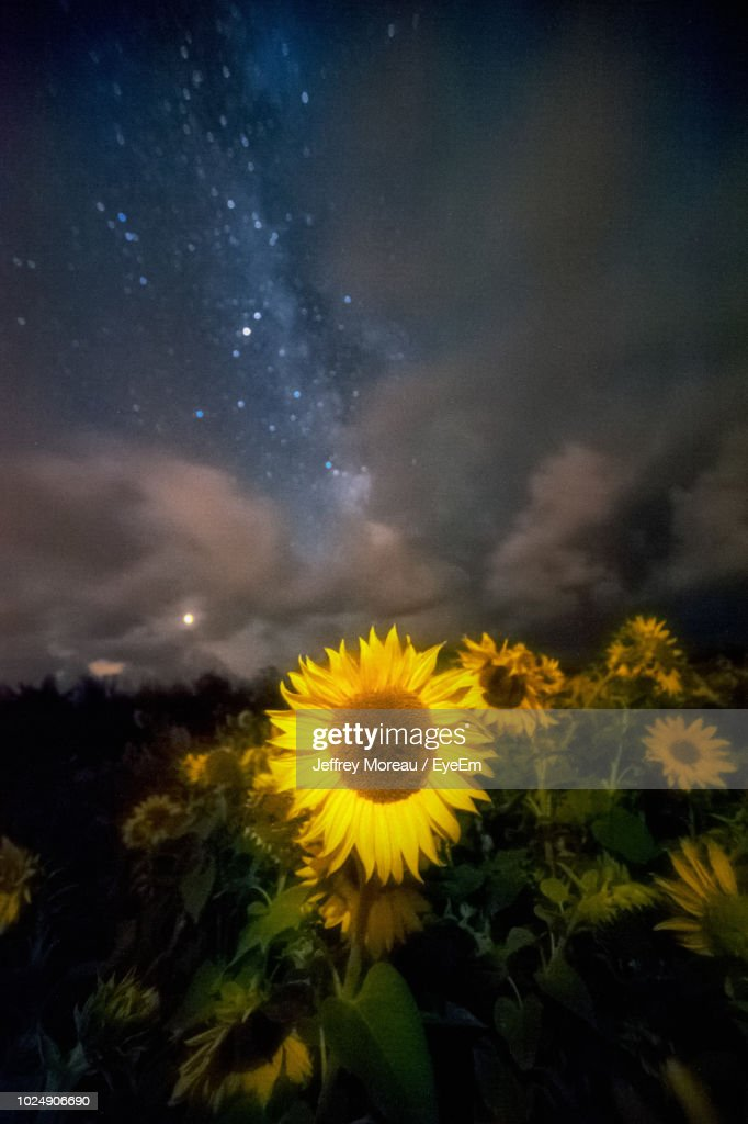 Close-Up Of Sunflower On Field Against Sky : Stock Photo