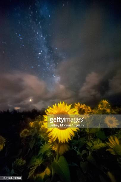 close-up of sunflower on field against sky - gower peninsula stock photos and pictures