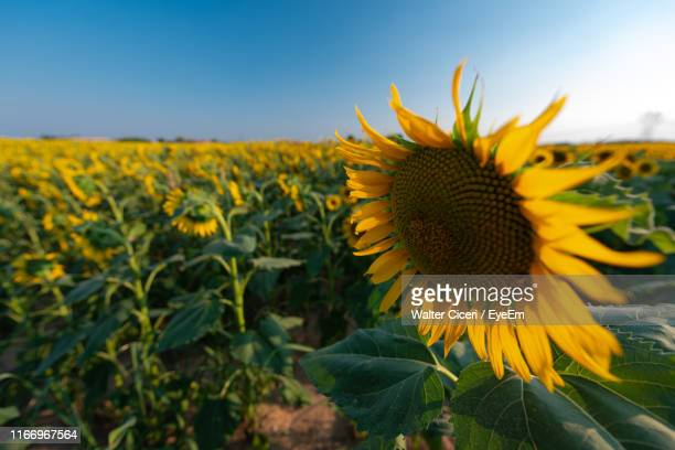 close-up of sunflower on field against sky - walter ciceri foto e immagini stock