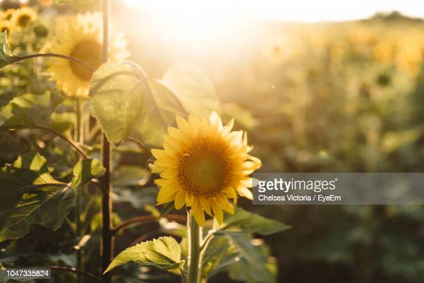 close-up of sunflower on field - girasoli foto e immagini stock