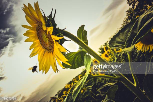 Close-Up Of Sunflower On Plant Against Sky