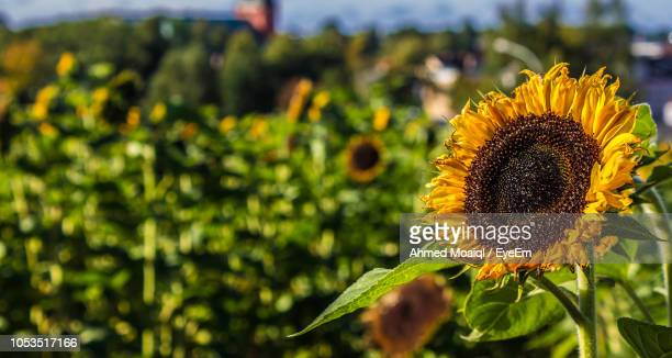 close-up of sunflower - vaxjo stock pictures, royalty-free photos & images