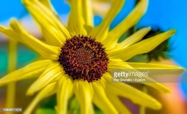 close-up of sunflower - per grunditz stock pictures, royalty-free photos & images