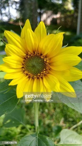 close-up of sunflower - lévis quebec stock pictures, royalty-free photos & images