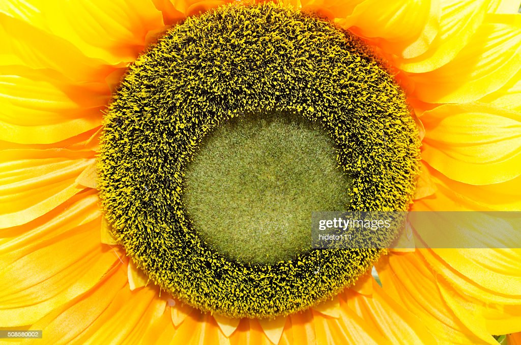 close-up of sunflower. : Stockfoto