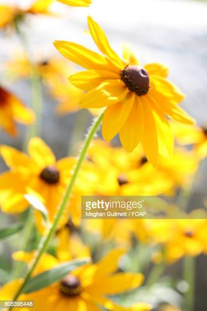 close-up of sunflower - meghan stock photos and pictures