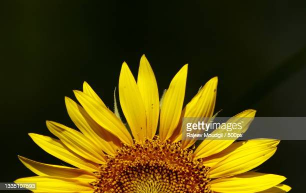 close-up of sunflower,chandigarh,india - chandigarh stock pictures, royalty-free photos & images