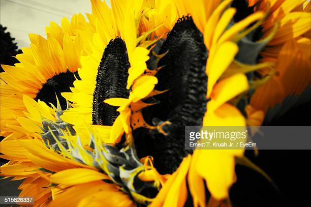 Close-up Of Sunflowers Blooming In Field