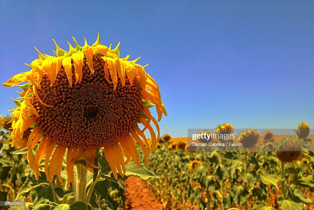 Close-Up Of Sunflowers Blooming On Field Against Clear Blue Sky : Stock Photo