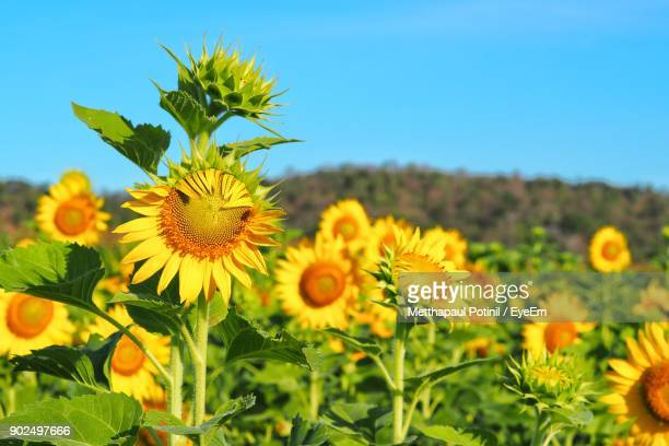 close-up of sunflowers blooming on field against clear sky - metthapaul stock photos and pictures