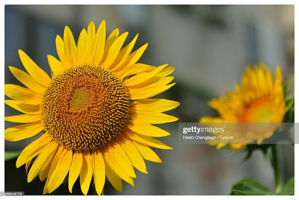 Close-Up Of Sunflowers Blooming Outdoors : Stock Photo