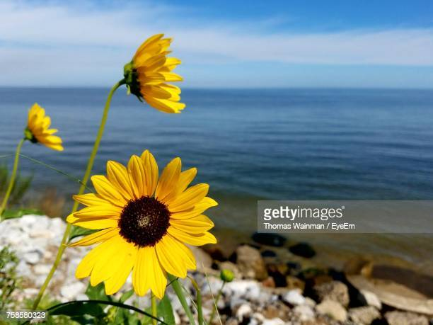 Close-Up Of Sunflowers Growing At Lake Michigan Against Sky