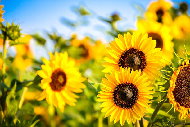 Close-Up Of Sunflowers Growing In Farm