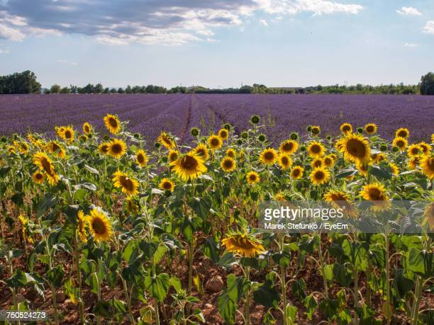 close-up of sunflowers growing in field - marek stefunko stock pictures, royalty-free photos & images
