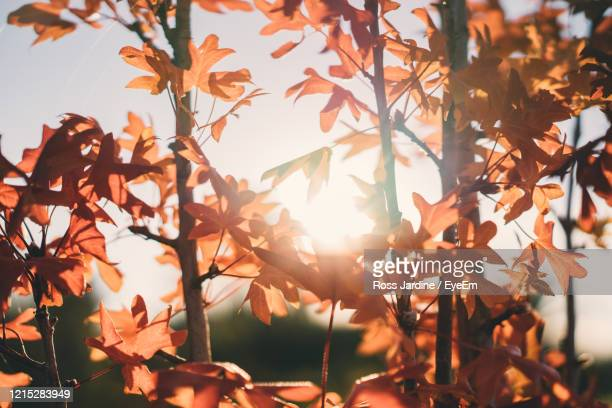 close-up of sunlight streaming through autumn leaves - bendigo stock pictures, royalty-free photos & images