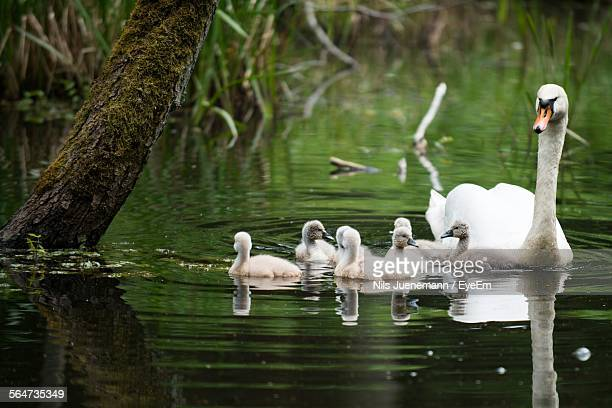 close-up of swan and cygnets swimming on lake - ducking stock pictures, royalty-free photos & images