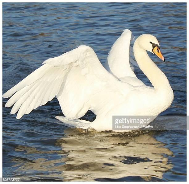 Close-Up Of Swan Flapping Wings In Lake
