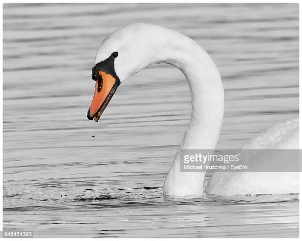 close-up of swan swimming in lake - michael hruschka stock pictures, royalty-free photos & images
