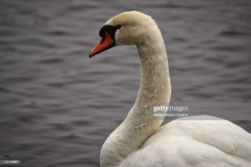 Close-Up Of Swan Swimming In Lake : Photo