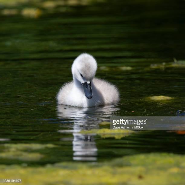 close-up of swan swimming in lake,melton mowbray,united kingdom,uk - dave ashwin stock pictures, royalty-free photos & images