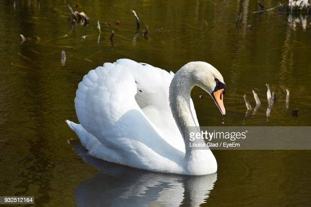 close-up of swan swimming on lake - swan stock pictures, royalty-free photos & images