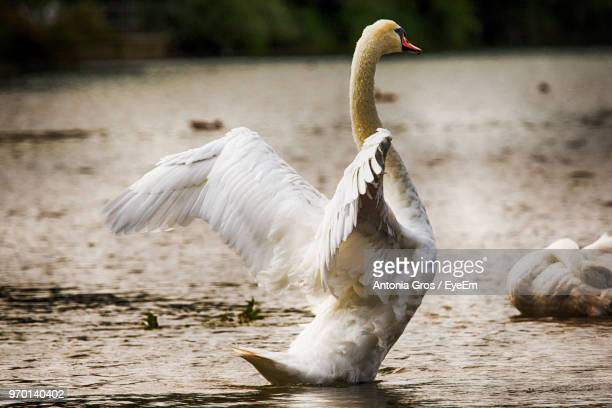Close-Up Of Swan With Spread Wings Swimming On Lake