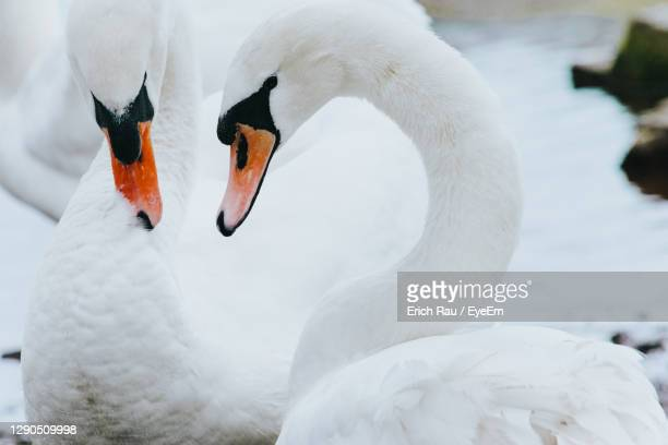 close-up of swans - two animals stock pictures, royalty-free photos & images