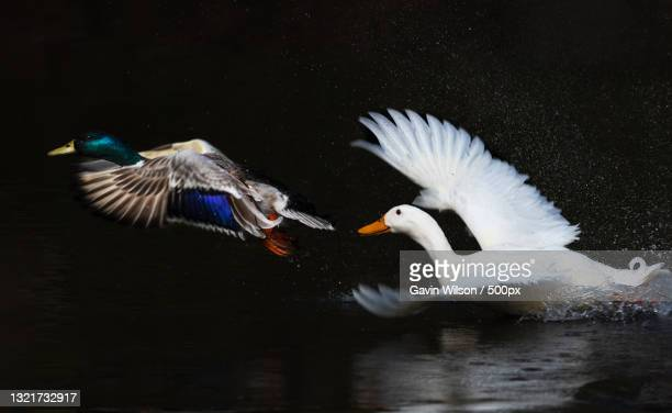 close-up of swans swimming in lake,kilmarnock,united kingdom,uk - wildlife stock pictures, royalty-free photos & images