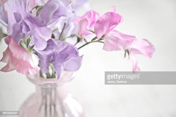 Close-up of sweet pea flowers in vase