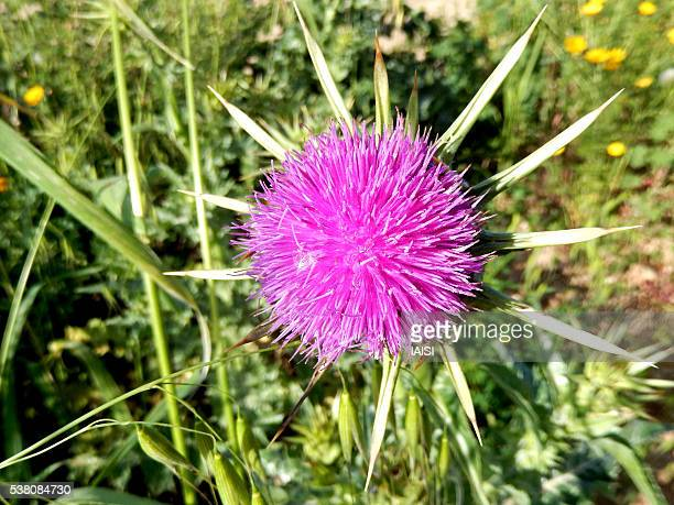 Close-up of Syrian thistle / Mediterranean thistle