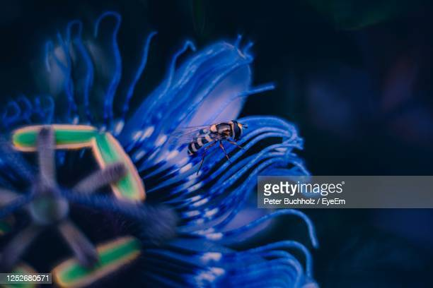 close-up of syrphidae on blue passion flower - 動物学 ストックフォトと画像
