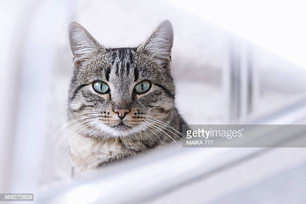 Close-up of tabby cat looking at camera