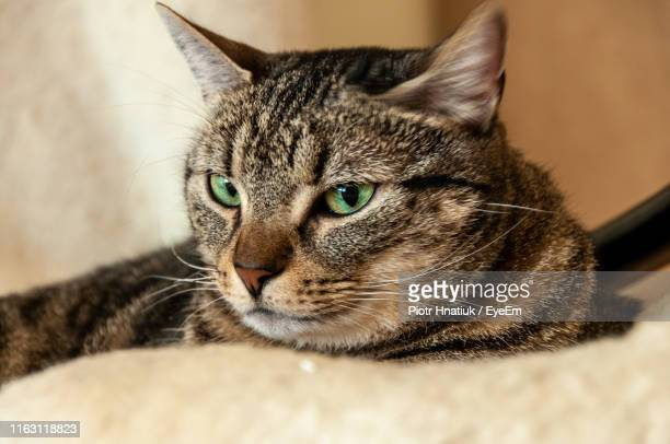 close-up of tabby cat - piotr hnatiuk stock pictures, royalty-free photos & images