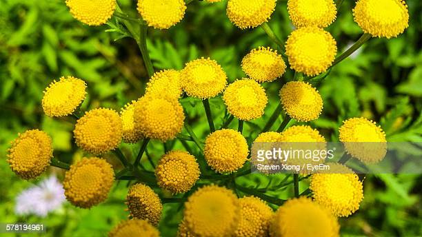 close-up of tansy flowers blooming in park - tansy stock pictures, royalty-free photos & images
